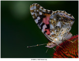 20190801-2 SERIES - 1808 Painted Lady.jpg