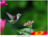 20190812 3091 Ruby-throated Hummingbird.jpg