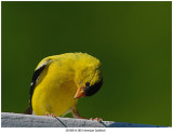 20190814 3851 American Goldfinch.jpg