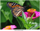 20190813 3338 Monarch Butterfly.jpg