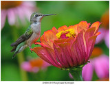 20190812 3137 Ruby-throated Hummingbird.jpg
