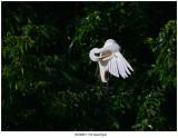 20190801 1114 Great Egret.jpg
