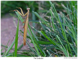 20190831 4948 Praying Mantis.jpg