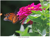 20190813 3267 Monarch Butterfly.jpg