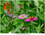 20190812 3050 Rubythroated Hummingbird.jpg