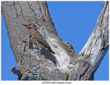20190702 8904 Northern Flicker.jpg
