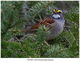 20190501 3260 Whitethroated Sparrow.jpg