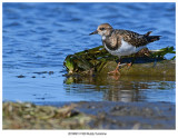 20190913 7429 Ruddy Turnstone.jpg