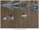 20191111 8644 Camada Goose Common Merganser.jpg