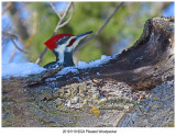 20191119 9024 Pileated Woodpecker.jpg