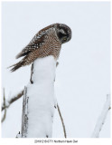 20191218 0771 Northern Hawk Owl r1.jpg