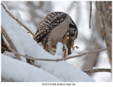 20191219 0900 Northern Hawk Owl.jpg