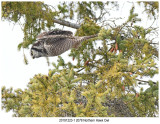 201912231 2078 Northern Hawk Owl.jpg