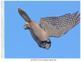 20191227 3122-2 Northern Hawk Owl.jpg