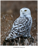 20191209 0031 Snowy Owl r1.jpg