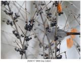 20200117 3606 Gray Catbird.jpg
