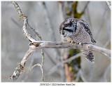 2201912231 2323 Northern Hawk Owl.jpg