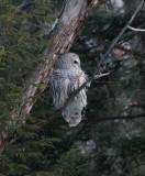 Barred Owl (Strix varia) profile