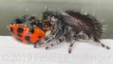 Phidippus audax eating Harmonia axyridis