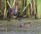 Green Heron (Butorides virescens) and Wood Duck (Aix sponsa)