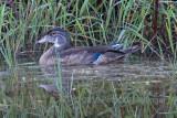 immature wood duck (Aix sponsa)