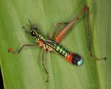 Paramastax grasshopper with mites