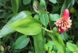 Elleanthus orchid