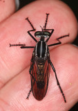 Senobasis robber fly