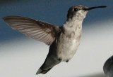 Hummingbird @ 1/32000 sec showing barbules