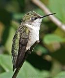 Hummingbird Blinking