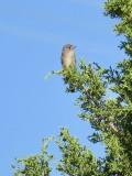 Flycatchers #2 & 3
