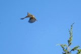 Flycatcher #4