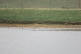 Hudsonian Godwits