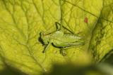 Sauterelles - Grasshopper
