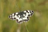 Le Demi-Deuil (Melanargia Galathéa) petit papillon de 5cm d'envergure vole de juin à aoüt dans les prairies jusqu'à 1600m