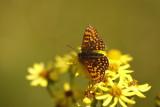 Petit collier argenté sur fleur de séneçon