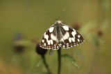 The Melanargia galathea (5cm wingspan) flies from June to August in the plain's meadows up  to 2000 m