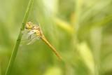 Ce sympètre sanguin femelle, caché au milieu des herbes, guette ses prochaines proies
