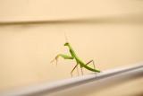 Chanceuse rencontre avec un bébé mante découvrant ma véranda - My first and lucky encounter with a baby mantis