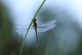 Libellules - Dragonflies and Damselflies