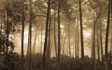 Misty Golden Woods