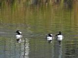 Les oiseaux nageurs 3