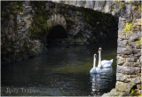 swans_at_bodnant.jpg