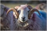 Heddwyn's Ram