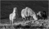 Carneddau Horses