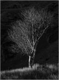 Tree at Cwmorthin