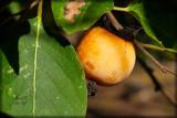 Divine Fruit original