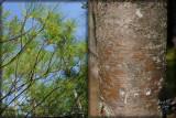 White Pine Tree original