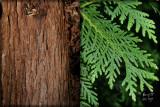 Whitecedar Tree original