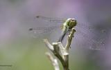 Libellules - Dragonflys